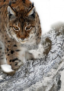 lynx_snow_art_Wegmann_Bevanda_earth-observation_org